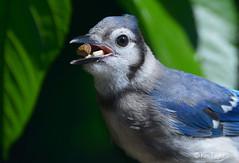 animal(1.0), nature(1.0), fauna(1.0), finch(1.0), close-up(1.0), blue jay(1.0), beak(1.0), bird(1.0), wildlife(1.0),