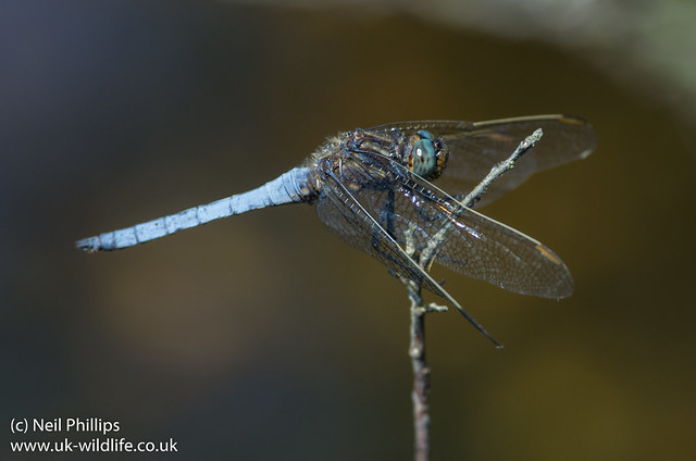 keeled skimmer dragonfly Orthetrum coerulescens-2