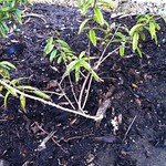 lemon myrtle planting in Herb Garden by fe2h2o