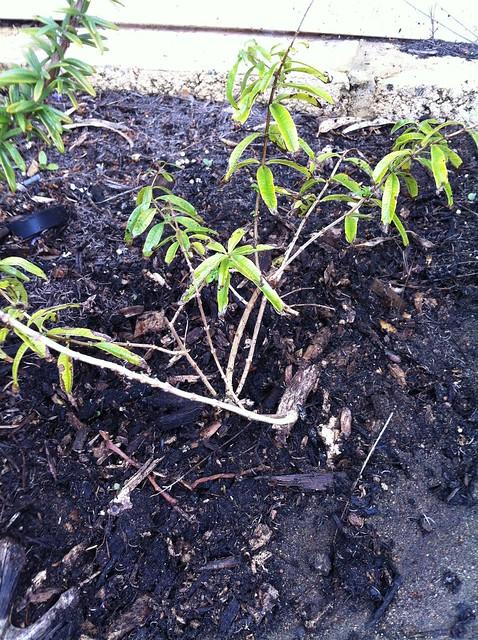 lemon myrtle planting in Herb Garden by fe2h2o