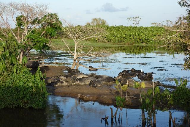 Bufalos Margem do Rio Amazonas no Brasil