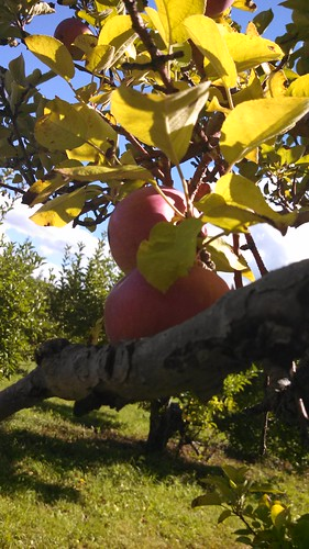 Imgage: apples in a tree