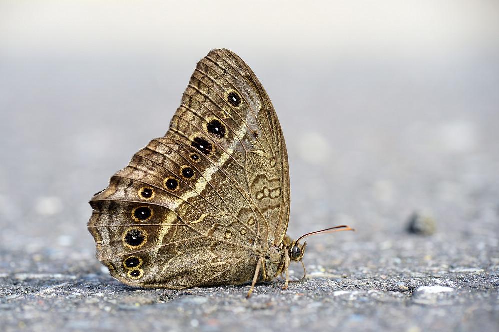 蔭眼蝶屬褐翅蔭眼蝶-1