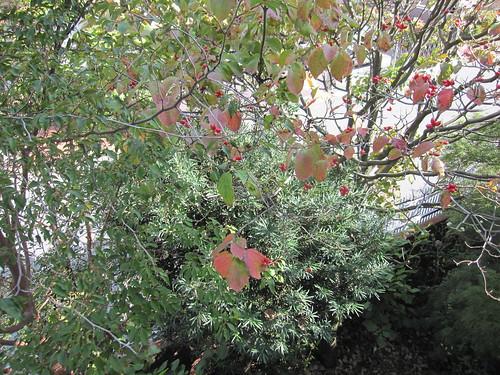 ハナミズキの赤い実・・・東京の家の庭21013.10.7 by Poran111
