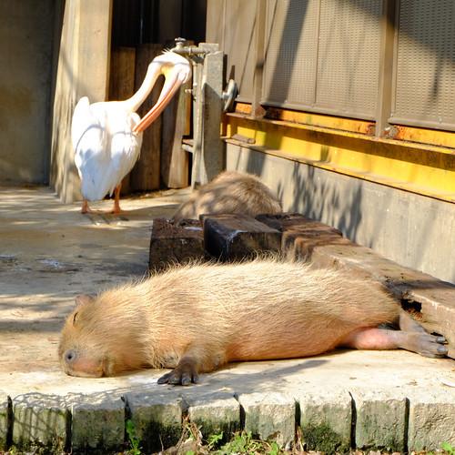 東武動物公園 カピバラ&ペリカン
