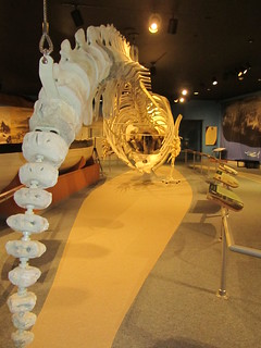 USA - Massachusetts - New Bedford - New Bedford Whaling Museum - Sperm Whale Whale skeleton