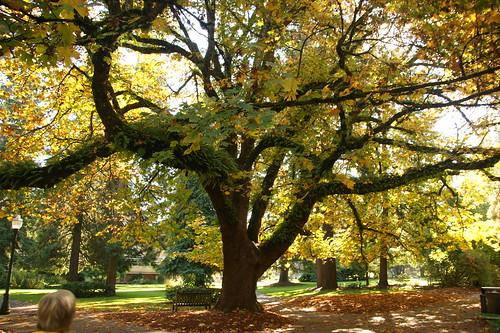 eugene fall autumn campus universityoforegon 2013 homecoming tree 500views