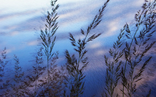 Grasses and reflection