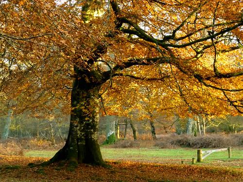 autumn england tree hampshire beech lyndhurst newforestnationalpark markashwood