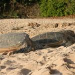 3 turtles, Oahu