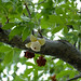 Small photo of Baobab (Adansonia digitata) flower bud