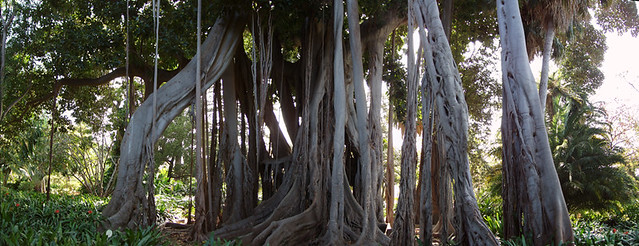 Moreton Bay Fig, Botanical Gardens, Puerto de la Cruz, Tenerife