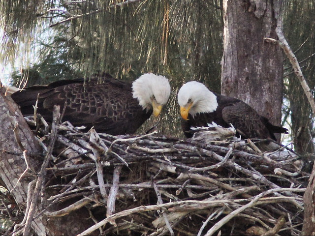 Parents Joy--left and Pride look into nest 2-20140117