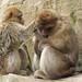 Primate Conservation: Old World Monkeys