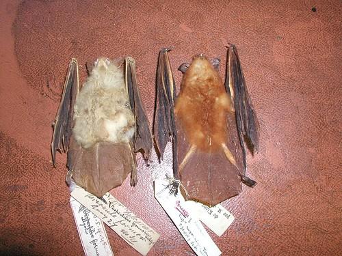 蝙蝠標本。(攝影:周政翰)