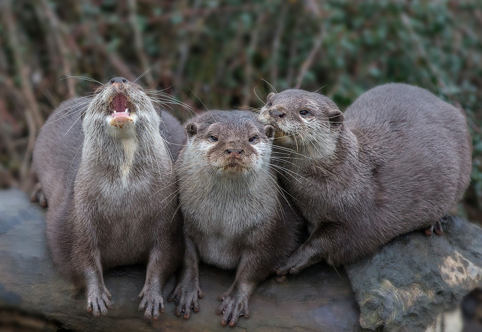 Otters of  Whipsnade Zoo