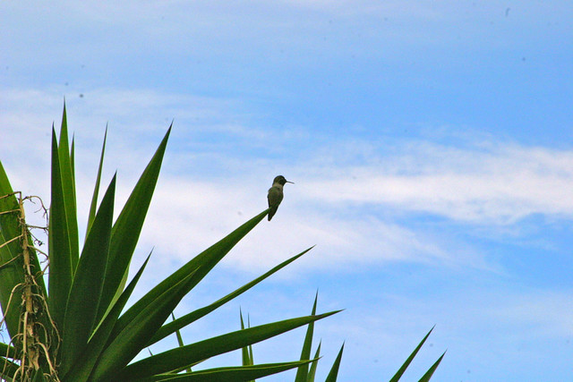 hummingbird on the bluff