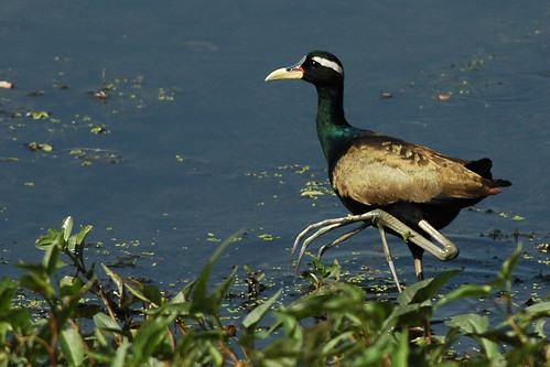 Bronze-winged Jacana by C M Reza