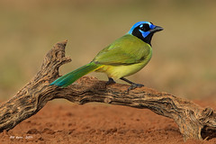 Green Jay - (Feb 2014)