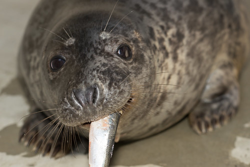 Gray Seal Pup eating a fish