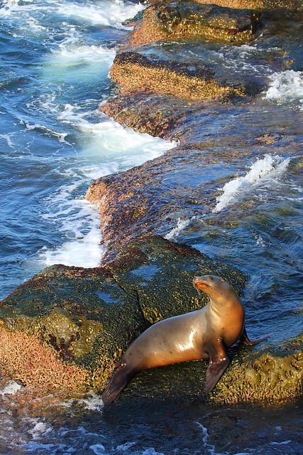IMG_0522 California Sea Lion