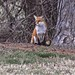 Hain's Point Fox