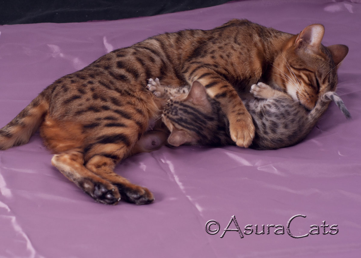 AsuraCats mummy cat with kitten Destiny Bond