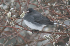 slate colored junco IMG_1515a