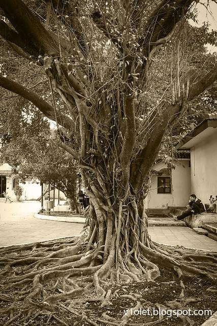 Keraton Kasepuhan pohon1-9268bwrw