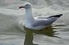 Seagull cruising