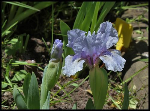 Iris nain St- Aubin- sur- mer (3)