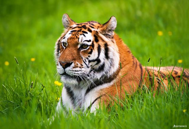 The Siberian (also Amur) Tiger.