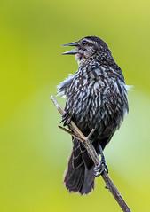 female blackbird speaks