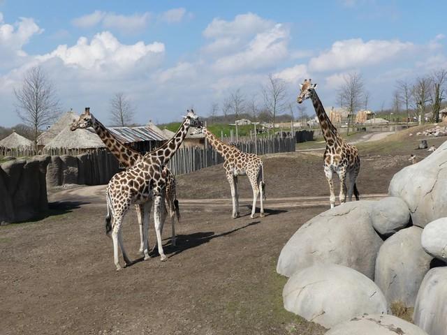 Giraffen, Wildlands Emmen