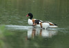 Pair of shelducks