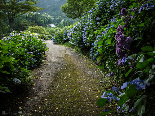 The hydrangeas trail