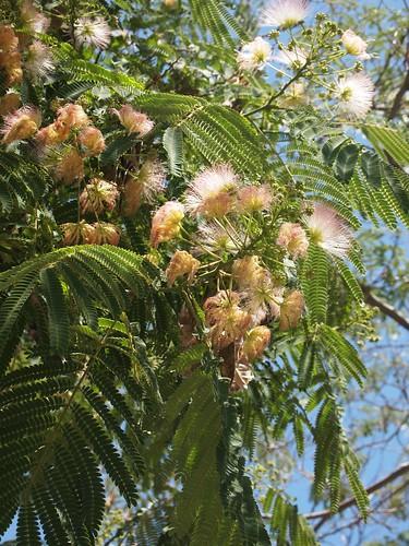 Mimosa tree (Albizia julibrissin)