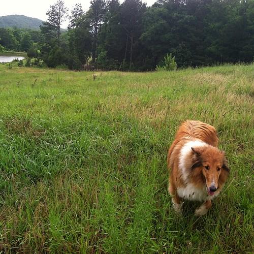 Dog in Pasture