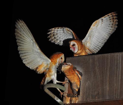 加州的倉鴞及巢箱。(照片:Bill Gracey。)