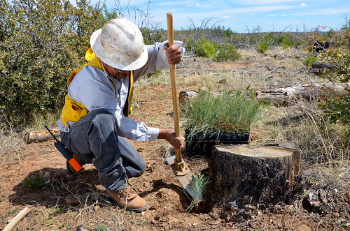 Mack Nosie, with the White Mountain Apache Tribe forestry department, uses a hoedad to dig a hole for a ponderosa pine seedling in the shade of a burned tree stump, which protects the seedling from windy conditions that dry the trees. Photo by Beverly Moseley, NRCS.