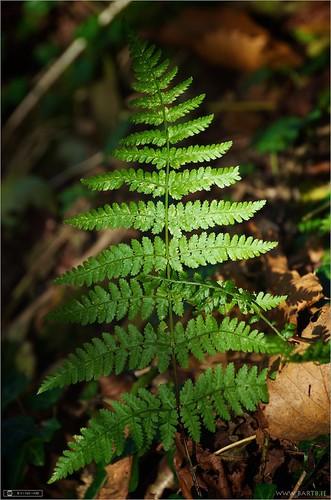 ireland fern cavan broadbucklerferndryopterisdilatata