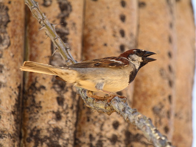 House Sparrow 2-20130614 - Copy