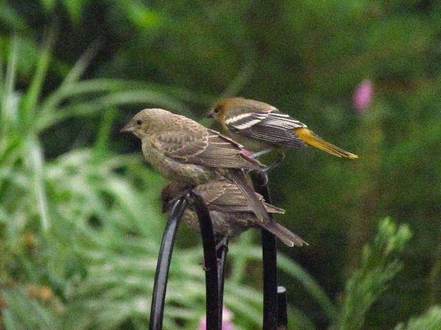 Oriole and cowbirds1 7:1:13