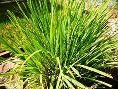 arecales(0.0), vegetable(0.0), flower(0.0), tree(0.0), produce(0.0), food(0.0), saw palmetto(0.0), lawn(0.0), plant stem(0.0), chives(0.0), sweet grass(1.0), grass(1.0), chrysopogon zizanioides(1.0), herb(1.0), hierochloe(1.0),