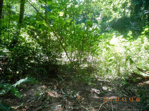 Holly thicket after