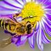 "Bee Macro ""explore"" by Bob Noble Photography"