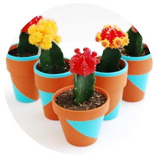 Growing Moon Cactus
