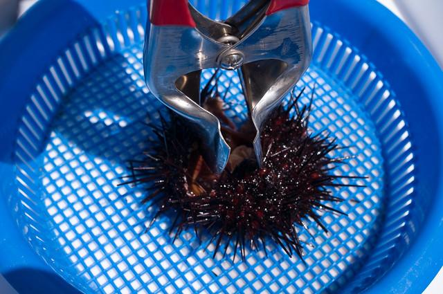 礼文島 礼文ふるさと祭り ウニの殻剥き体験