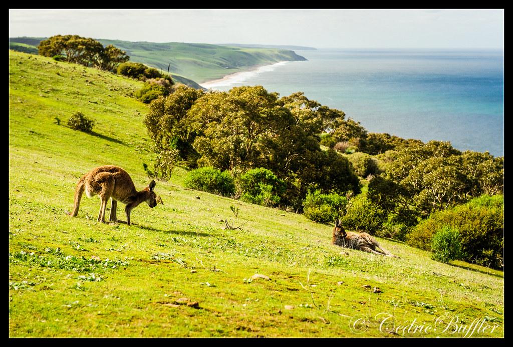 Kangaroos in Deep Creek conservation Park