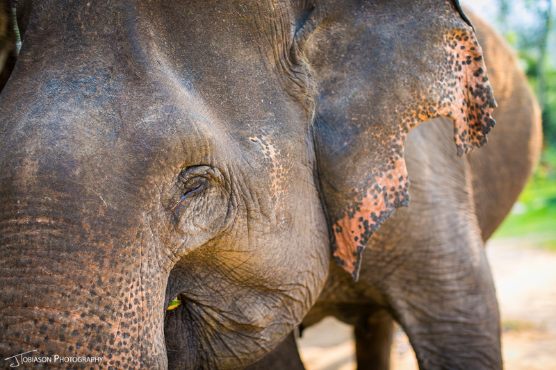 Elephant eye laos